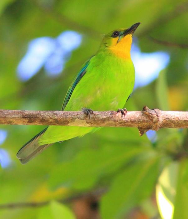 Yellow Throated Leaf Bird. napakaganda naman talaga ng mga ibon sa Pilipinas. at ang isang ito ay matatagpuan din sa palawan.