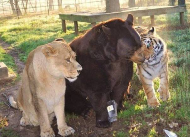 The Lion, the Tiger and the Bear